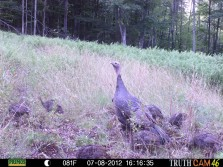 hen turkey with a bunch of pullets.