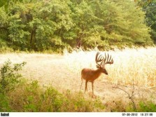 Huge Kansas Buck on Game Camera