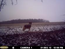 Nice coyote