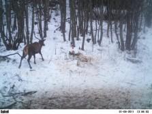 Norwegian deer