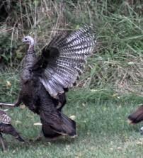 Turkey fight!