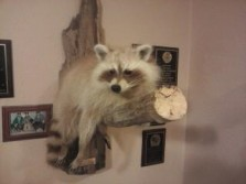 white coon