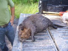65 pound beaver
