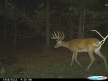 Trail Cam pic of Parrotmouth Buck in Velvet.