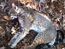 My first Bobcat!!