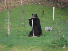 Bear having a snack