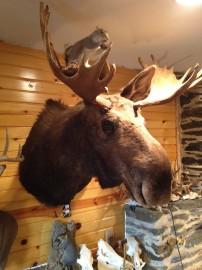 Archery Moose