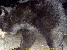Big Florida Black Bear