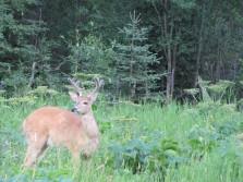 Our backyard buck