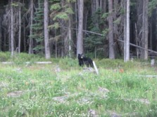 heathly black bear sow