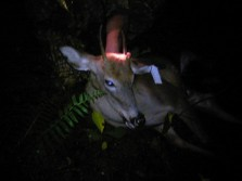 Although it is a spike it is the first deer of the year and venison in the freezer