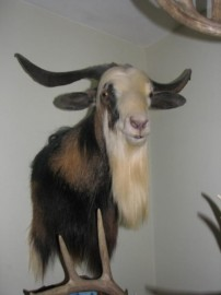 Australian Feral Goat
