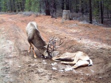 buck fights dead deer