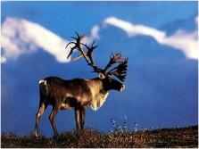 Caribou huntin'