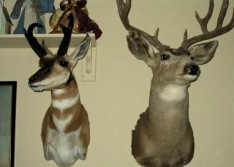 Couple mounts on the wall.
