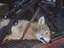 Coyote Nova Scotia, Canada