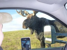 Curious Little Bull Moose