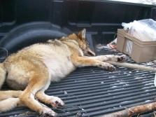 cyote