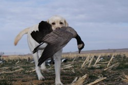 Decoy's first Goose