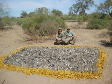 A great dove hunt