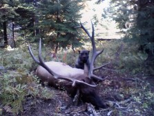 Elk Hunting with Dogs