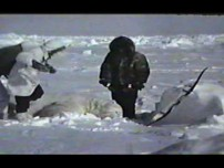 Epic Polar Bear hunt
