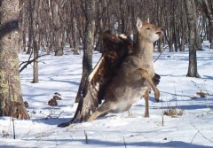 Golden Eagle Takes on Deer