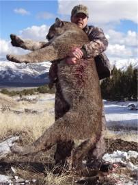 Huge Cougar