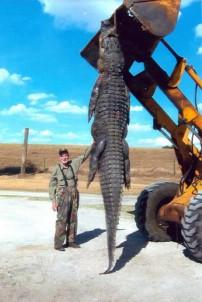 Huge Florida Alligator