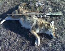Kansas coyote!