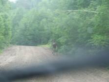 Little wee bull moose!