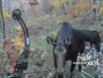 Moose Bow Hunting Encounter with Cow Moose & Calf!