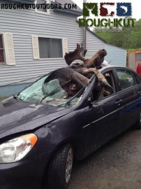 Moose Vs Car