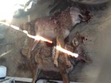 My coyotes