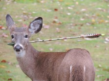 New Jersey residents on alert for deer with an arrow through its head