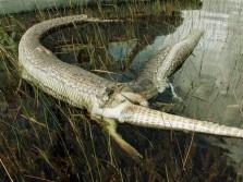 Gator Vs. Python