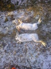 Rabbit hunting 2012