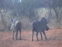Video of Bowhunting Warthogs