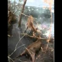 Whitetail Buck Fight in Iowa