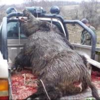 Boar Photos & Videos | Hunting Giant Wild Boar Photos