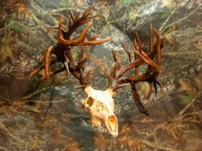 World Record Buck Real or Fake?