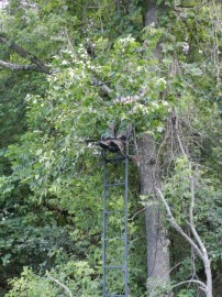 Tree Stand Chameleon
